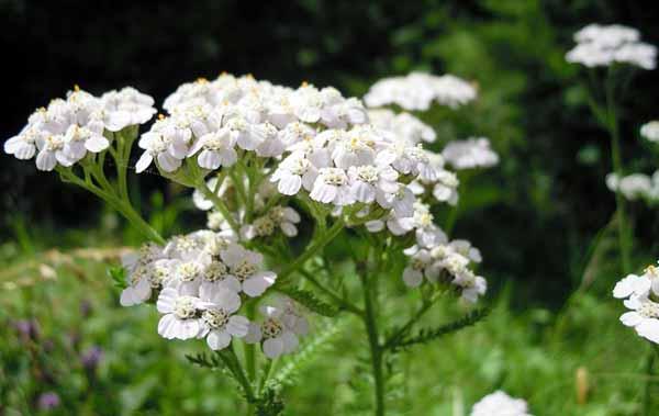 Schafgarbe – Eine Pflanze mit heilender Kraft